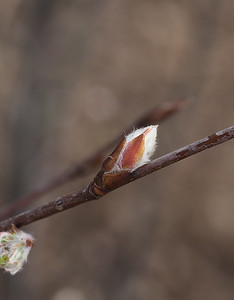 Budding Shrub