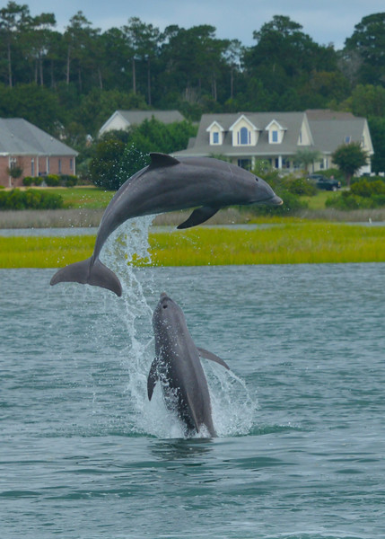 Dolphins having fun in the water off Emerald Isle, NC. 2013