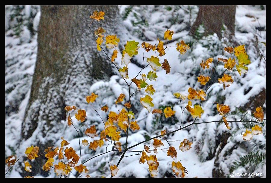 Autumn snow  On Vine Maple Leaves