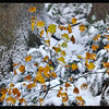 Autumn snow  On Vine Maple Leaves