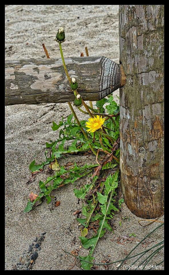 Common Dandelion—Taraxacum officinale