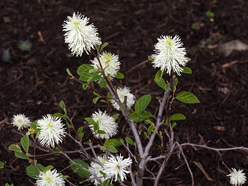 Fother Gilla Shrub in Bloom