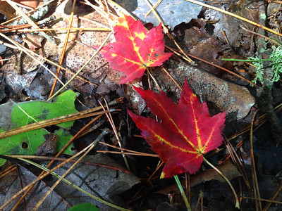 FallColor-MapleLeaves