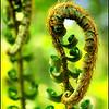 """Western Sword Fern """"fiddleheads"""" ~ Polystichum munitum"""