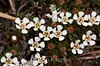 Pyxidanthera barbulata, Pixie Moss; Burlington County, New Jersey 2014-05-09   6
