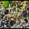 Himalayan Blackberries—Rubus armeniacus