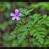 Herb Robert—Geranium robertianum