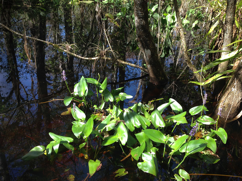 TropicalPlant-Swamp