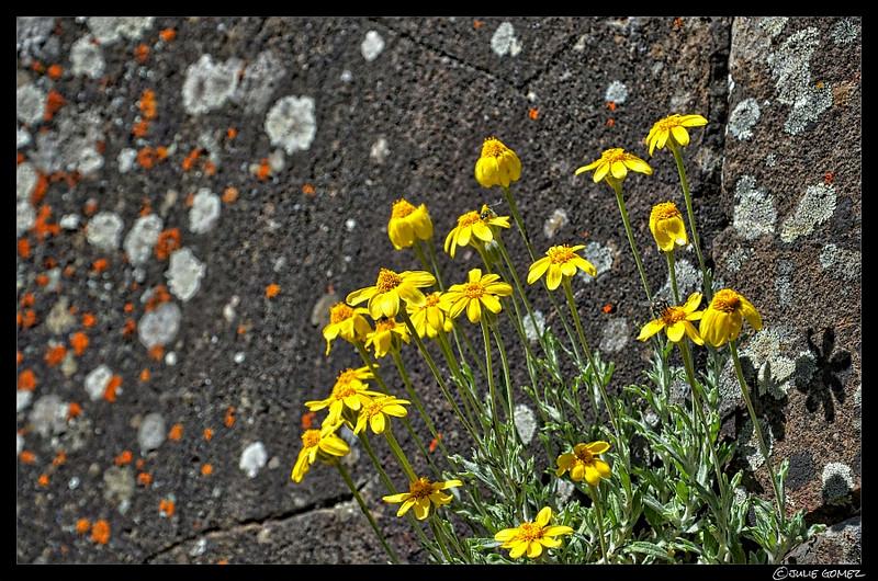 Some Oregon Sunshine! ~ Eriophyllum lanatum