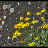 Some Oregon Sunshine! ~ Eriophyllum lanatum