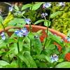 Marsh Forget-Me-Not—Myosotis scorpioides
