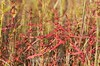 Ammannia coccinea, Scarlet Toothcup; Mercer County, New Jersey. 2014-09-19   10