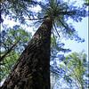 Douglas-fir ~ Pseudotsuga menziesii