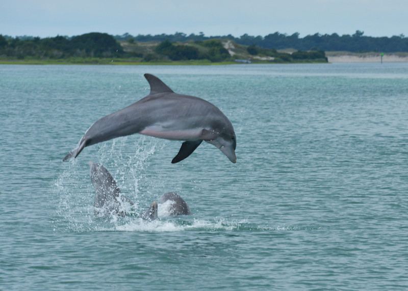 Dolphins playing near Cedar point, NC 2013.