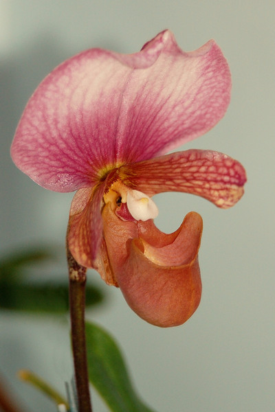 Pink slipper orchid