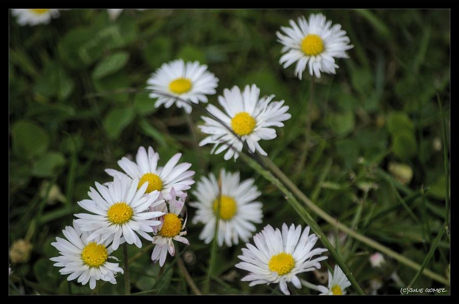 English Daisies—Bellis perennis