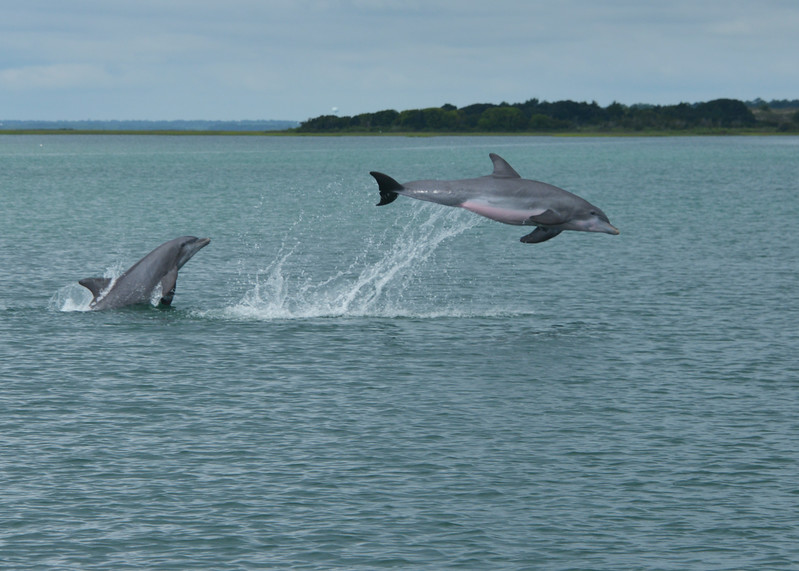 Dolphins playing tag. Emerald Isle, NC