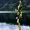 Hooker's Willow ~ Salix hookeriana