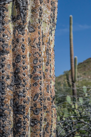 Saguaro near and far