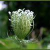 Queen Anne's Lace ~ Daucus carota