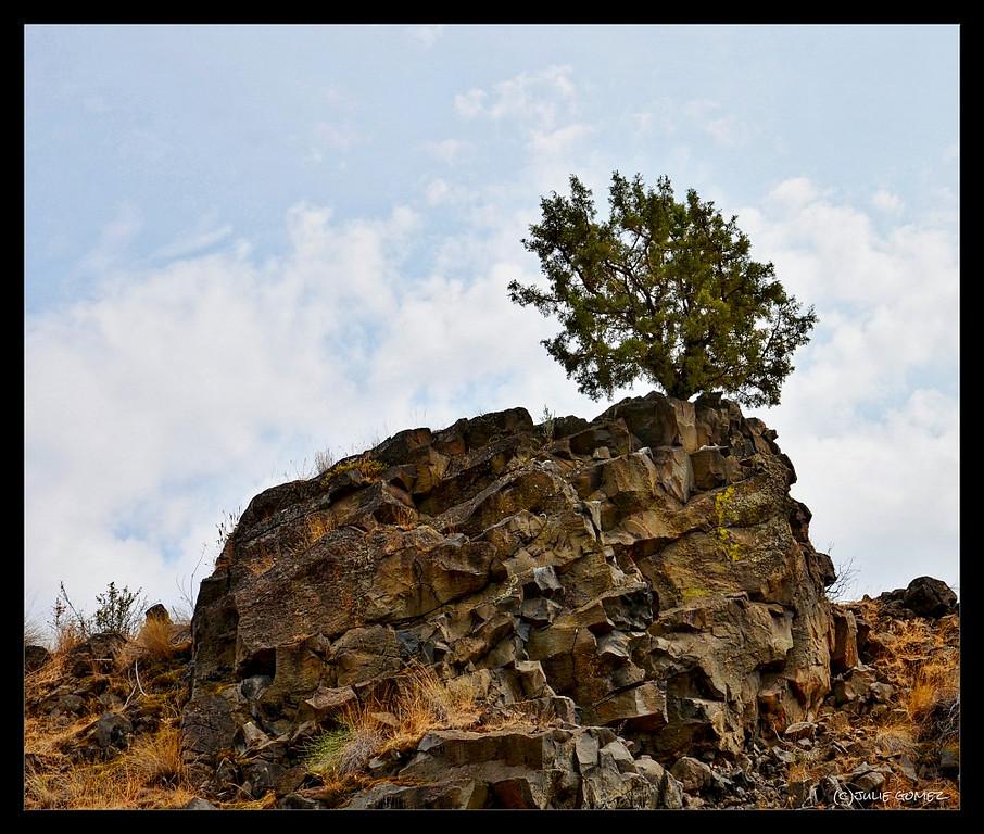 Western Juniper—Juniperus occidentalis