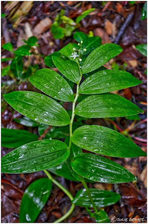 Star-Flowered Solomon's Seal—Maianthemum stellatum