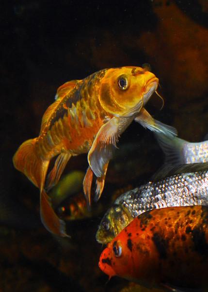 Pond Fish. 2012