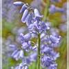 English Bluebells—Hyacinthoides nonscripta