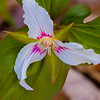 Painted Trillium, Great Smoky Mountains National Park, Tennessee