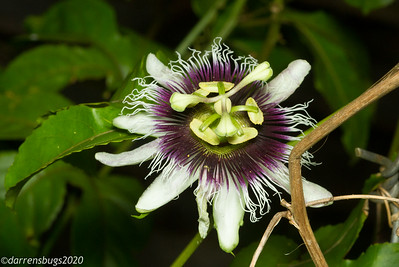 Passion flower, Passiflora sp., from Puerto Rico.