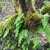 Licorice Ferns—Polypodium glycyrrhiza