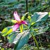 Aging Pacific Trillium—Trillium ovatum