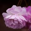 Rosa 'blush noisette' ·