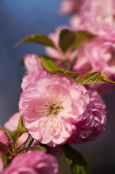Flowering almond in Botanical garden in Oslo