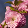 Flowering almond in Botanical garden in Oslo