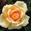 Rosa valencia syn new