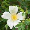 Rosa pimpinellifolia var. Altaica