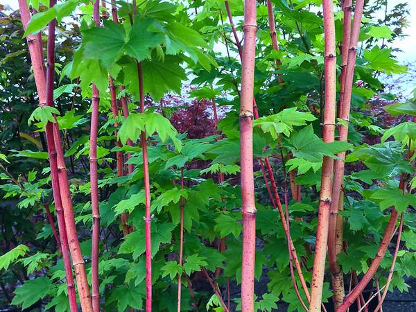 Acer circinatum 'Pacific Fire'
