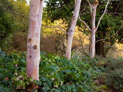 Betula albosinensis var. septentrionalis | Chinese Red Birch