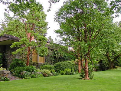 A magnificent trio of Acer griseum specimen trees in the renowned Platt Garden in Portland, Oregon.