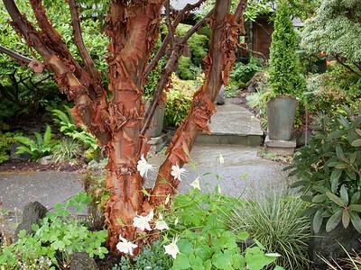 Acer griseum | paperbark maple (LINK)    .