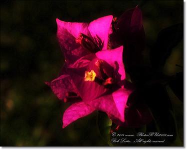 2014-05-04_IMG_7899_Bougainvilla