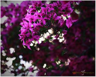 Bougainvilla bush