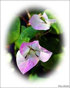 Bougainvillea.....potted front yard...Sept. 29, 2011.....Clearwater, Florida