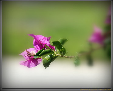 2013-09-09...Bouganvilla...© PhotosRUs2008