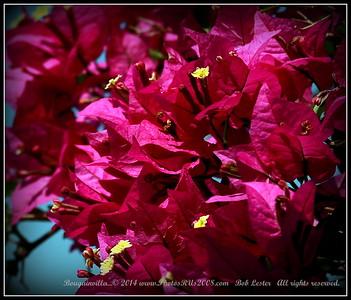 Bougainvilla...© 2014 www.PhotosRUs2008.com   Bob Lester   All rights reserved.