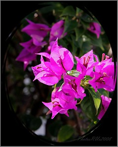 """Bougainvillea""  Dec. 2010"