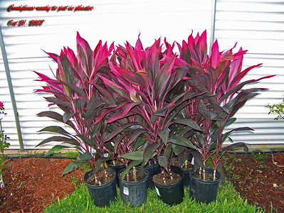 Cordylines ready for planting 103107002