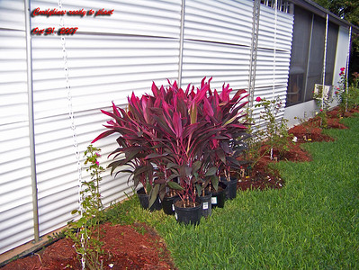 Cordylines ready for planting 103107001