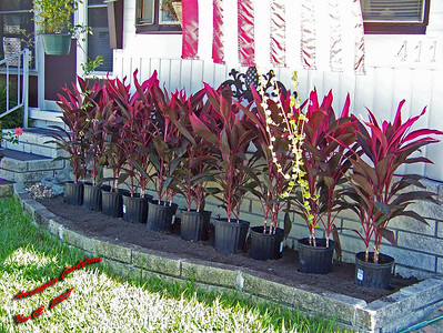 Digging out planter and arrainging Cordylines005
